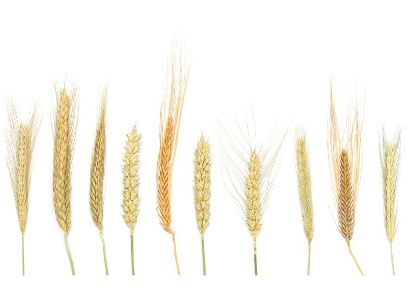 Wheat Trial Tutorial Now Available
