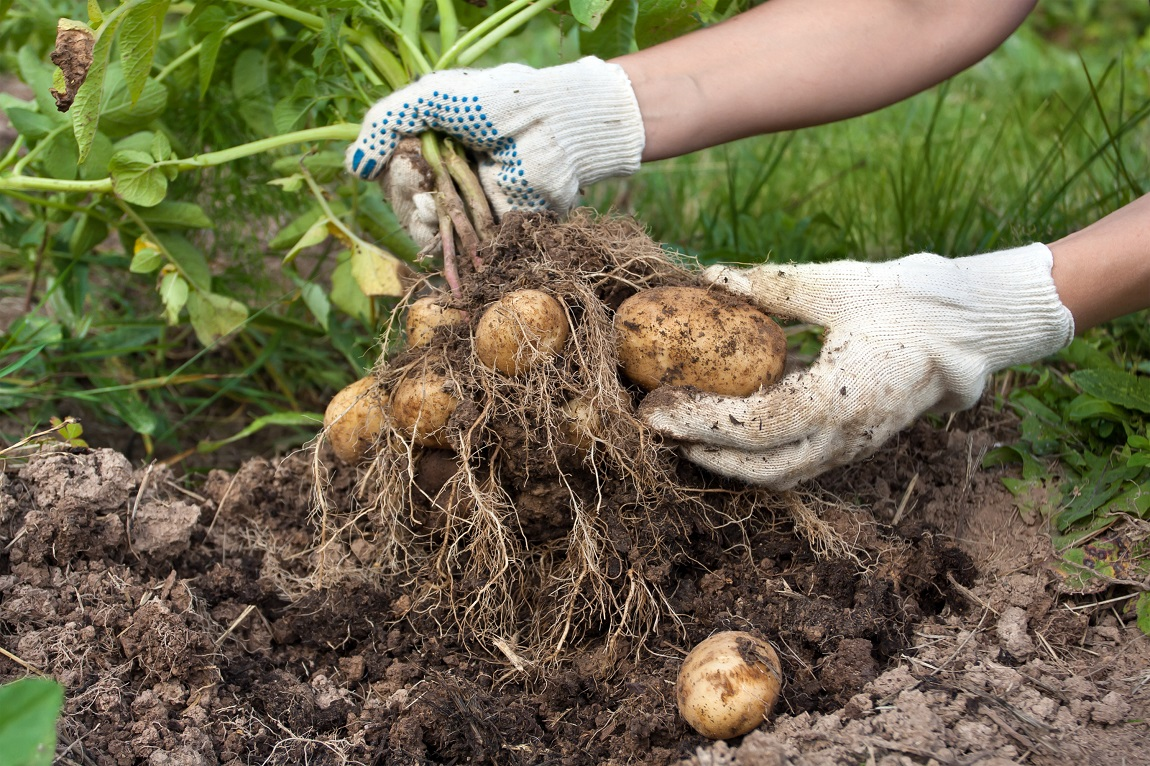 The Definitive Resource for Garden-Grown Potatoes*